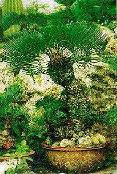 Cycas revoluta in the bonsai style. Photo: Hajime Tomiyama. PACSOA - Cycas revoluta-odd