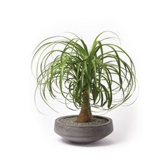 "Immortal Houseplant ""The Beaucarnea guatemalensis—you can call it a ponytail palm—has tropical roots, but it likes our northern perspective..."""