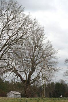 Pecan trees.