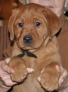 Red Moon Fox Red Lab Puppies