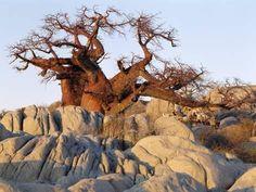 size: Photographic Print: Gnarled Baobab Tree Grows Among Rocks at Kubu Island on Edge of Sowa Pan, Makgadikgadi, Kalahari by Nigel Pavitt : Artists African Tree, Baobab Tree, Natural Phenomena, Growing Tree, Framed Artwork, Find Art, Mount Rushmore, Environment, Naturaleza