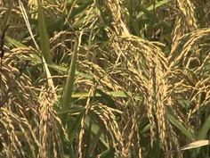 Rice farmers were able to get in their fields early this year to begin the harvest. Disease problems have caused a drop in yields in some areas, but in other fields the harvest looks good. LSU AgCenter correspondent Tobie Blanchard has this report.