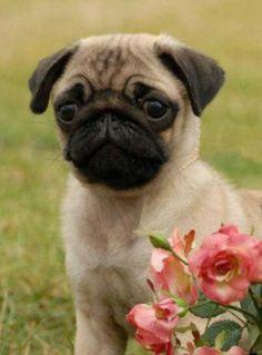 Pugs are too cute!