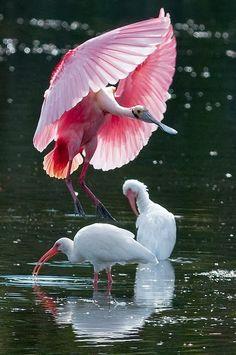 Pink Spoonbill birds are found in Costa Rica, Central America.