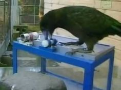 ▶ Kea - The Smartest Parrot [THE COMPLETE DOCUMENTARY] - YouTube