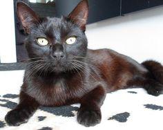 Kirikou, trouvé errant à Lorient, né en 2013, vient de rejoindre notre lot d'abandonnés. Il n'a qu'un défaut : il est noir !!! Mais, comme Jasmine, c'est une perle noire.  Contact : chats.libres@orange.fr  Téléphone : 06.79.45.22.27