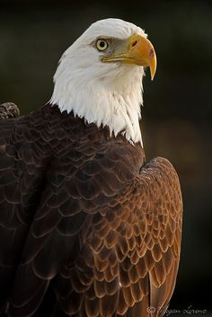 Bald eagle ... I enjoy going to Alton, Ilinois to see them soaring over the Mississippi River.