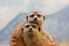 Sid and Ethel meerkat