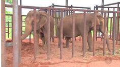 """""""O Grito do Bicho"""": Elefantas resgatadas de circo em MG chegam ao prim..."""