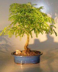 Tamarind - learn 2 grow http://www.growplants.org/growing/tamarind