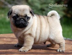 Acquire terrific ideas on funny pugs. They are actually available for you on our… Acquire terrific ideas on funny pugs. They are actually available for you on our internet site. Pug Puppies For Adoption, Cute Dogs And Puppies, Baby Puppies, Baby Dogs, Pet Dogs, Pets, Bulldog Puppies, Terrier Puppies, Boston Terrier