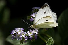 Cabbage Butterfly by pavonne