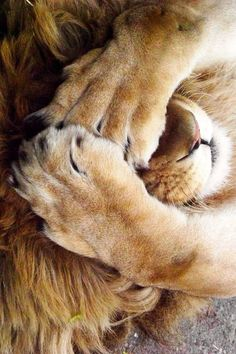 What's going on with my sweets. I want to talk to you. - Lustig Tiere - What's going on with my sweets. I want to talk to you. Cute Baby Animals, Animals And Pets, Funny Animals, Lion Pictures, Animal Pictures, Beautiful Cats, Animals Beautiful, Funny Lion, Lion And Lioness