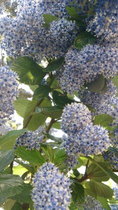 Sweet scented lilac - Rathmines 19/04/14