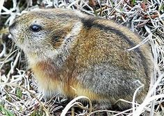 Victoria Collared Lemming or Nearctic Collared Lemming (Dicrostonyx groenlandicus) - found in the tundra of northern Canada, Alaska and Greenland. Arctic Animals, Animals And Pets, Cute Animals, Lynx, Unusual Animals, Animal Alphabet, Rodents, Hamsters, Chipmunks