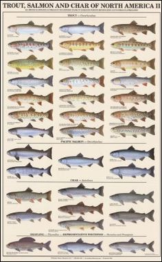 Trout, salmon, and char of North America II
