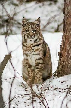 Alberta bobcat [Lynx rufus] by Christopher Martin