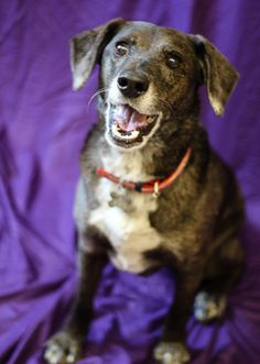 Need a happy dog in your life? (Who doesn't?!) Come meet Captain Ziggy, a Labrador mix available at OHS! #adventuredog #seniorpets #adopt
