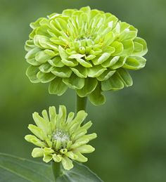 Zinnia elegans 'Benary's Giant Lime'. Very reliable, giant, green-flowered zinnia, which has superceded Envy; with better rain, heat and mildew resistance.