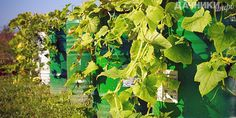 Огурцы: выращивание в бочке - Подробности: http://dachniki.info/ogurcy-vyrashhivanie-v-bochke-3312.html