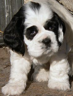 This page features the best Cocker Spaniel puppy pictures from the Zimmerlin family's 2004 litter. Adorable pictures of parti color Cocker Spaniel puppies! Tiny Puppies, Cute Puppies, Cute Dogs, American Cocker Spaniel, Cocker Spaniel Puppies, Baby Animals, Cute Animals, Rottweiler Mix, Cockerspaniel