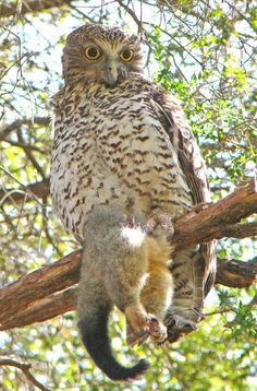 Powerful Owls, lrgst owls in Australasia, are hawk-owls weighing up to lbs. yet they can carry prey (like this possum) that weighs twice that. They reach in length with a wingspan of up to Photo by Duncan Fraser Owl Photos, Owl Pictures, Beautiful Owl, Animals Beautiful, Barred Owl, Screech Owl, Owl Art, Cute Owl, Birds Of Prey
