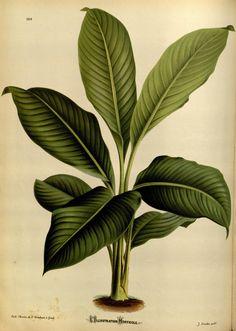 """https://flic.kr/p/dNMsU7   n126_w1150   L'Illustration horticole :. Gand, Belgium :Imprimerie et lithographie de F. et E. Gyselnyck,1854-1896.. <a href=""""http://biodiversitylibrary.org/page/15484178"""" rel=""""nofollow"""">biodiversitylibrary.org/page/15484178</a>"""