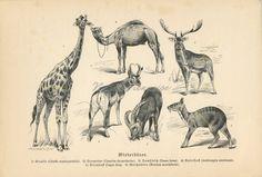 Antique #ruminant #animals #animalart print | #Giraffe #giraffeart  print | #Camel print | #Ruminantia | #Animaldecor #vintagedecor #antiqueprints | 1893 Ruminant, Alpine Ibex, Camelus, Fallow Deer, Animal Art Prints, Giraffe Print, Animal Decor, Antique Prints, Old Antiques