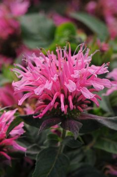 Monrovia's Balmy™ Pink Bee Balm details and information. Learn more about Monrovia plants and best practices for best possible plant performance. Hummingbird Flowers, Hummingbird Garden, Flowers That Attract Hummingbirds, Pink Perennials, Monrovia Plants, Types Of Herbs, Plant Catalogs, Cactus, Tall Plants