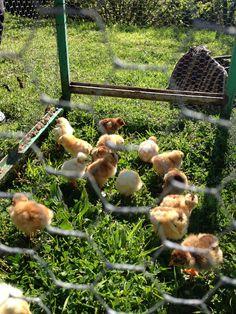 I pulcini, nati dalla nostra incubatrice