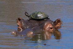 Hitching a Ride - It's not often you see a sight like this. This was a special moment! This hippo was being pestered by turtles who kept trying to sunbathe on him. But one lucky guy survived a dunking in the pond and managed to hang on for a while longer. #animals #cute #lovely #friendship #love #friends #beautiful #amazing #photos #photography #pictures