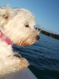 The real Minnie The Westie... on a sailing holibob :)