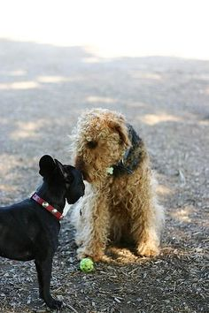 Wild Airedale Dogs Breed Picture « Pet Dog Breeds