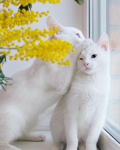 Conheça Iriss e Abyss os gatos gêmeos mais bonitos do mundo. Esses dois gatos inseparáveis tem olhos heterocromáticos, isso significa que seu olhos tem cores diferentes. Por exemplo enquanto um olho pode ser verde ou marrom, o outro azul, ou algumas cores diferentes em um só olho.