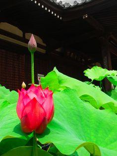 度々行きたい旅。: 京都観光:花の寺・法金剛院で蓮が開花!朝7時開門します