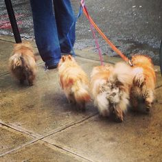 Dumbo dogs