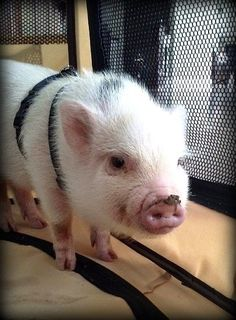 Bonding with your mini pig takes time and patience as pigs are slow to love and trust. However, mini pigs form strong bonds that makes the effort worth it. Pet Pigs, Baby Pigs, Human Babies, Fur Babies, Cute Piglets, Small Pigs, Mini Pigs, This Little Piggy, Unique Animals