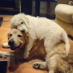 Snuggling Golden Retrievers - sweet!