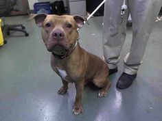 KILLED BY ACC - 07/19/15 - TO BE DESTROYED - 07/19/15 - MANNY - #A1044063 - Urgent Manhattan - MALE TAN PIT BULL MIX, 4 Yrs - STRAY NO HOLD Intake Date 07/15/15 Due Out 07-18/15
