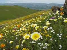 "Image 1 for article titled ""Low Extinction Rates Made California a Refuge for Diverse Plant Species"" Park Yong Ha, New Zealand Image, El Dorado County, Top Imagem, California Native Plants, Desktop Background Images, Good Morning Good Night, Different Plants, Plant Species"