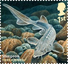 Undated handout photo issued by Royal Mail from their Sustainable Fish Special Stamps issue showing a Sturgeon.
