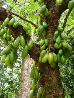Bilimbi (Averrhoa Bilimbi) Originária do Sudeste da Ásia, rica em vitamina C quando maduras.