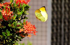 #butterfly #colorful #colourful #flight #flowers #fly #insect #ixora coccinea #landing #macro #outdoors #plant #wings