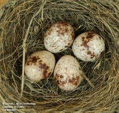 Bobolink Nest Image 2
