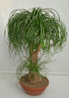 Ponytail Palm from Seeds