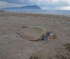Dec Seaside (Oregon) Aquarium rescues a Green Sea Turtle on the beach in Seaside and a Loggerhead Turtle stranded on a beach in Gearhart on Monday Seaside Oregon, Seaside Beach, Oregon Coast, Gearhart Oregon, Sea Turtle Wallpaper, Loggerhead Turtle, Oregon Living, Tortoises, Sea Turtles