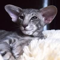 amikoshi cat - Google Search