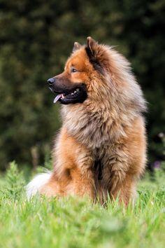 L'eurasier est un chien calme et tres proche de son maitre.