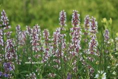 Nepeta grandiflora 'Dawn to Dusk'