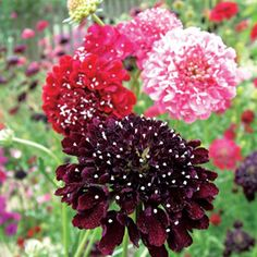 Scabious Summer Berries Seeds - 131440 - All Flower Seeds - Flower Seeds - Gardening Scabiosa Columbaria, Sutton Seeds, Summer Berries, All Flowers, Flower Seeds, Things To Do, Plants, Storyboard, Lawn And Garden